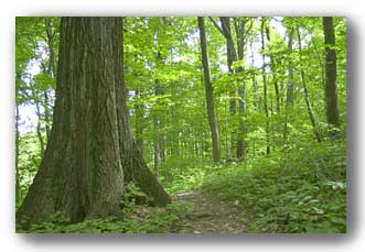 Davey Woods near Urbana, Ohio. It's the nearest old-growth forest to Cedarville/Dayton/Springfield. Photo from the Ohio Dept. of Natural Resources